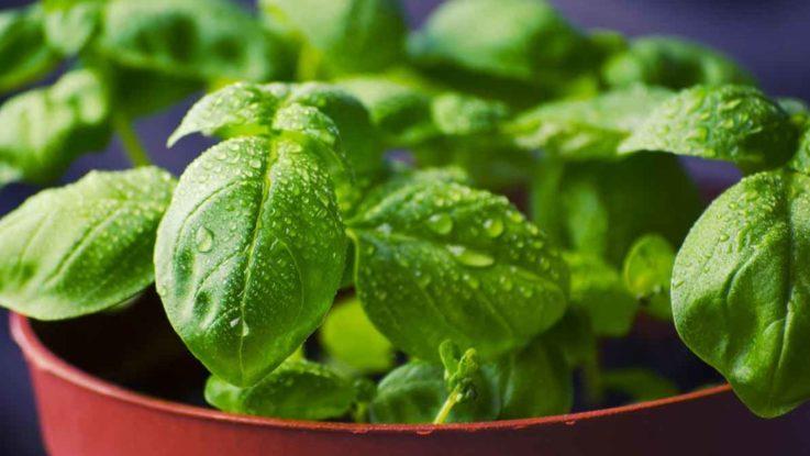Kräuter Wachstum Pflanzen Growshop